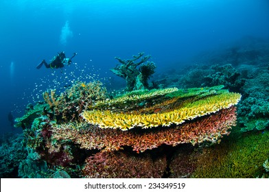 Diver and various hard coral reefs in Banda, Indonesia underwater photo. There are bunch of plate hard coral Acropora hyacinthus.