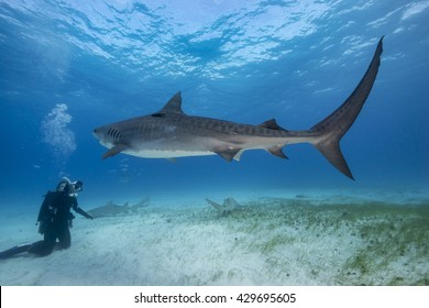 A diver videos a large tiger shark as it swims overhead during a shark dive in the Bahamas.