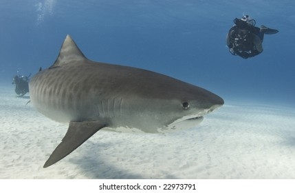 A diver watches a Tiger Shark (Galeocerdo curvier) swim by in the open water
