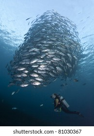 Diver watching a huge school of Black Jacks, at the Liberty Wreck at Tulamben, Bali