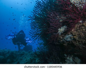 Divers with Red gorgonia in the Mediterranean sea, Sardegna, Italy