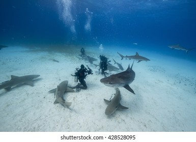 Divers resting on a sandy bottom surrounded by lemon and tiger sharks in the Bahamas.