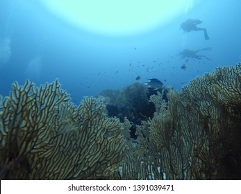 Divers swimming above gorgone garden