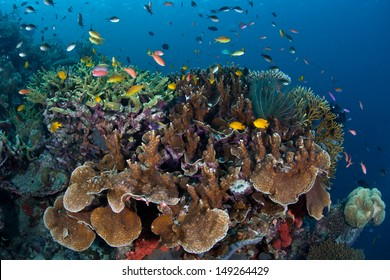 A diverse array of fish swim above reef-building corals grow on a reef slope in the Solomon Islands.  This area is found within the Coral Triangle and is high biological diversity.