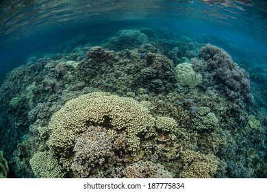 A diverse array of reef-building corals grows in the shallow of Palau's lagoon. This specific site was completely dead in 1999 after a bleaching event and is now quite healthy.