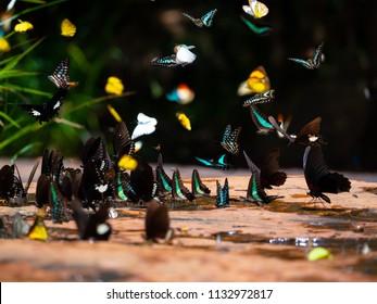 Diversity butterflly eating salt licking ground at Pangsida National park, Sa Kaeo, eastern of Thailand.