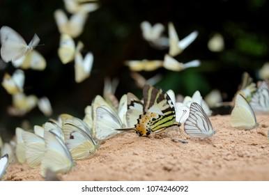 Diversity of butterfly species,Butterfly eating Salt licks on ground at Pangsida national park Sakaeo,Thailand