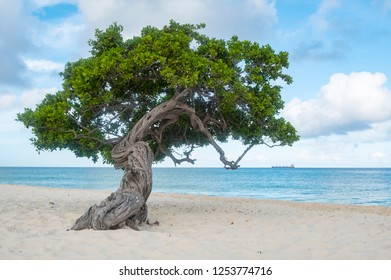 Divi Divi Tree of Eagle Beach Aruba