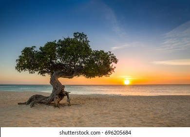Divi-divi tree on Eagle Beach. The famous Divi Divi tree is Aruba's natural compass, always pointing in a southwesterly direction due to the trade winds that blow across the island