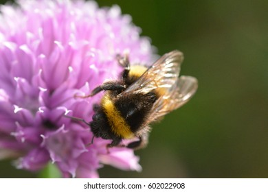 The divine contrast of a bee on a pink allium flower head