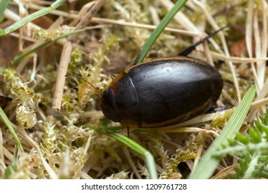 Diving beetle, Hydaticus seminiger