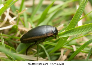 Diving beetle, Hydaticus seminiger on grass