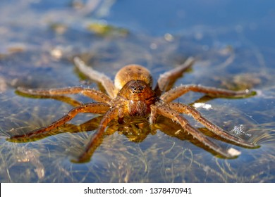 Diving bell spider - Argyroneta aquatica on water surface