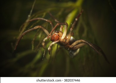 Diving Bell Spider, Water Spider