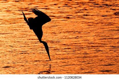 Diving Bird at Sunset, Antigua