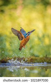 The diving Common Kingfisher, alcedo atthis is flying with his prey in green background. The kingfisher just caught his prey. Colorful backgound. Amazing moment. Flying bird gem of our rivers.