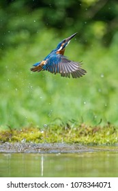 The diving Common Kingfisher, Alcedo atthis is flying with his prey in a green background. The Kingfisher just caught its prey. Colorful backgound. Amazing moment. Flying bird gem of Czech rivers.