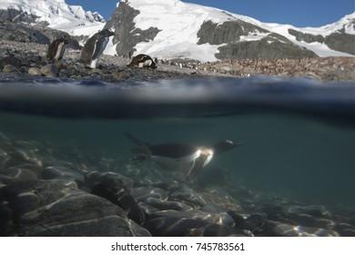 Diving Gentoo