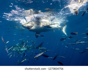 Diving with Great White Sharks at Guadalupe, Mexico