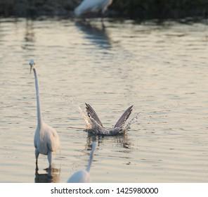 Diving gull in mannar lagoon Srilanka