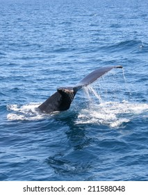 A diving Humpback whale shows its tail flukes while sounding