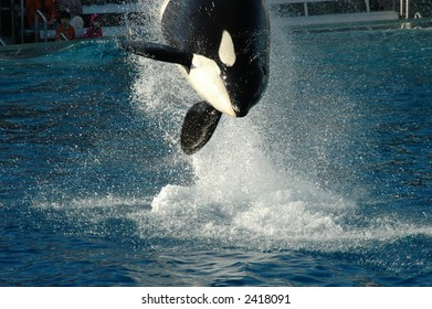 Diving Killer Whale in San Diego