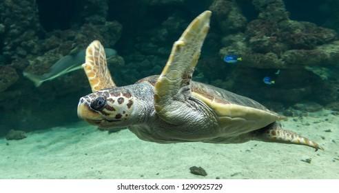 Diving Loggerhead sea turtle (Caretta caretta)