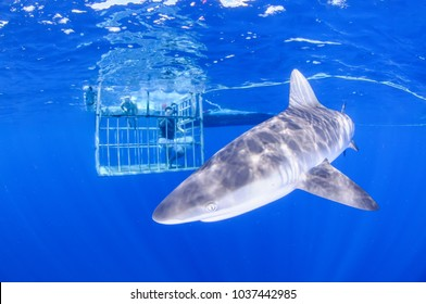 Diving with Sandbar Shark in Clear Waters of North Shore, Hawaii