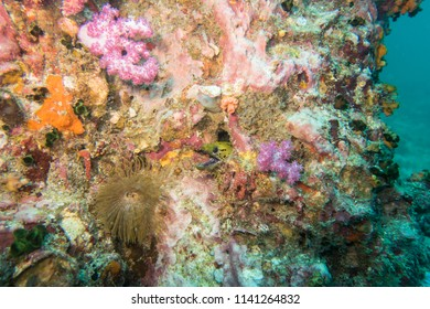 Diving Thailand: Fimbriated moray eel peeking out of his hole in the coral reef