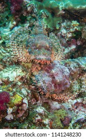Diving Thailand: Richelieu Rock two scorpion fish luring for bait