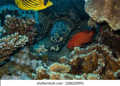 Diving trip: Sea turtle eating corals on the reef near El Quseir in Egypt having to defend its food against competitors
