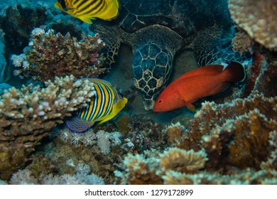Diving trip: Sea turtle is observed by reef fishes while eating corals on the reef near El Quseir in the Red Sea in Egypt