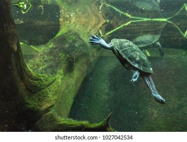 Diving Turtle in Tank