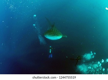 Diving with Whale Shark. Adventure scuba diving  with whale shark in the botubarani sea, Gorontalo, Indonesia. Sunday (July 31, 2016).