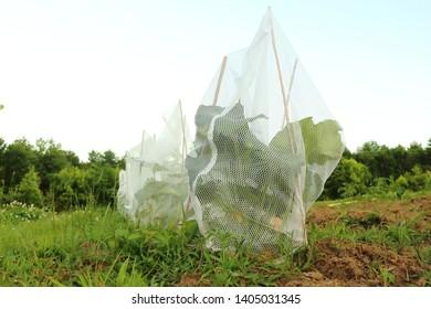 DIY Organic Pesticide Free Squash Vine Borer Deterrent