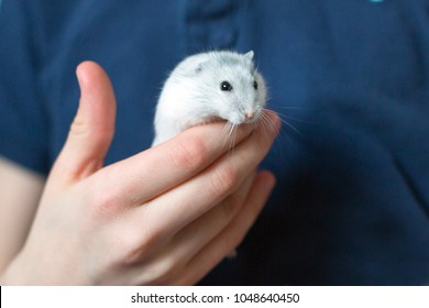Djungarian hamster in the child hand
