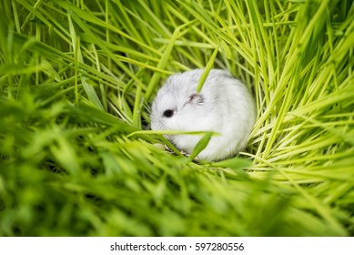 Djungarian hamster in the grass.