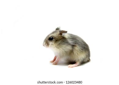 Djungarian Hamster (Phodopus sungorus) baby isolated on white