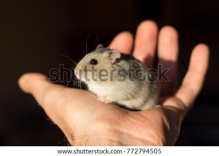 Dzungarian hamster in your house
