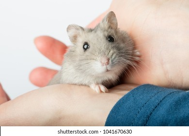 Djungarian hamster or Siberian dwarf holding in hands. Latin name Phodopus sungorus. Concept most popular pets.