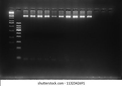 DNA analysis by PCR-RFLP of Apis mellifera by gel electrophoresis, PCR band of honey bees