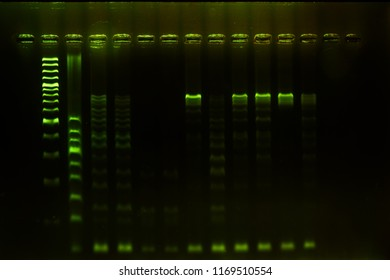 DNA analysis by PCR-RFLP of Apis mellifera by gel electrophoresis, PCR band of honey bees.