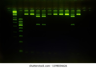 DNA analysis by PCR-RFLP of Apis mellifera by gel electrophoresis, PCR band of honey bees, DNA sequencing technique and gel electrophoresis