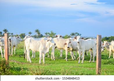 Espigão do Oeste/Rôndonia/Brazil - 17/10/2019 - Nellore heifers, breed originating in India and predominant in Brazil