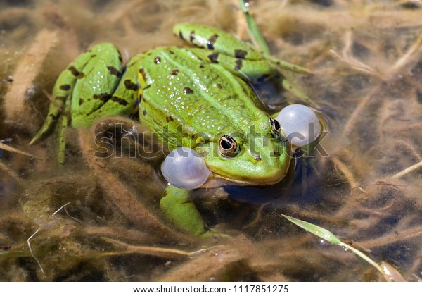 Do not blow your cheeks up! Inflated small pond inhabitant, the little water frog. Mostly it is colored grass green and is the smallest water frog type in Germany.