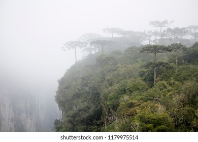 Cambará do Sul, Rio Grande do Sul / Brazil - 08/05/2018: Araucarias in fog on the border of the Itaimbezinho Canyon, - Aparados da Serra National Park - Serra Gaúcha
