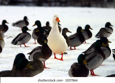 Do you STAND OUT from the crowd?  A picture of a white domesticated duck in a group of Mallard ducks.