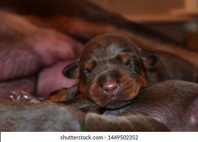Doberman dog best frend puppy