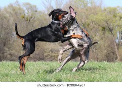 Doberman dog holding great dane dog