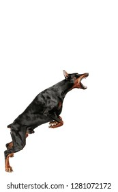 Doberman dog Isolated on white background in studio. The domestic pet concept